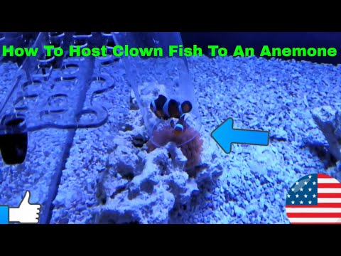 How To Get Clown Fish To Host An Anemone