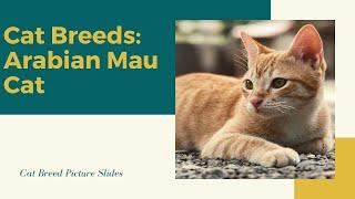 Arabian Mau Slides  Cat Breeds
