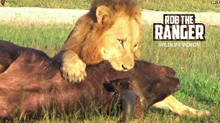 four male lions kill and eat one african buffalo
