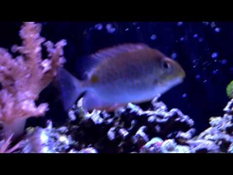Yellow Blotch Rabbitfish