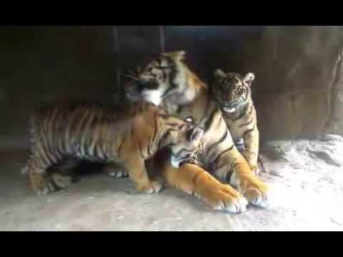Tiger cubs playing with their father at Burgers' Zoo ...