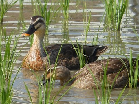download Ducks Trained to Manage Rice Paddies in Thailand