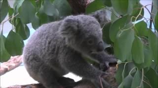 彼女は、多摩動物公園の赤ちゃんコアラの「パピー」ちゃんです。 パピー...