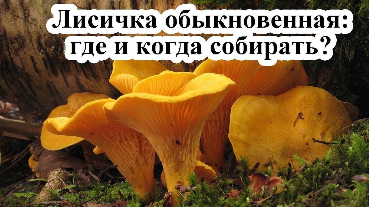 гриб лисичка когда растет месяц