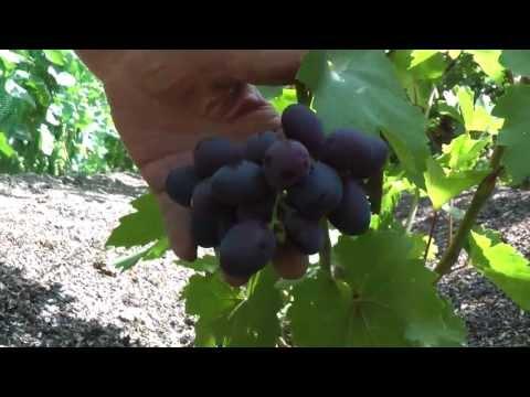Первый урожай сверхранних сортов винограда в 2013г