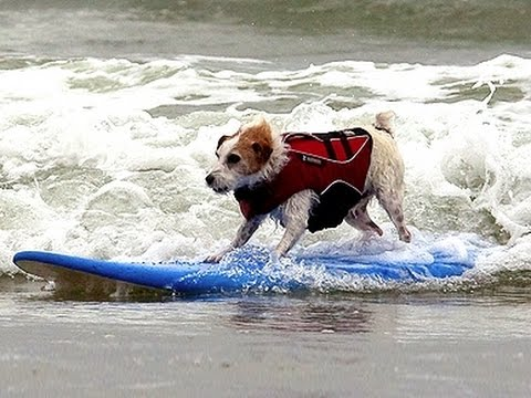 Surfing Dogs in San Diego
