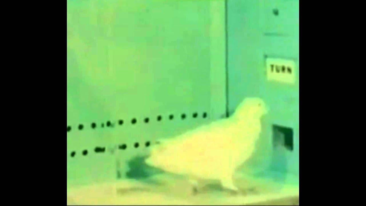 Skinner War Pigeons