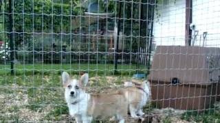Female Pembroke Welsh Corgis For Sale