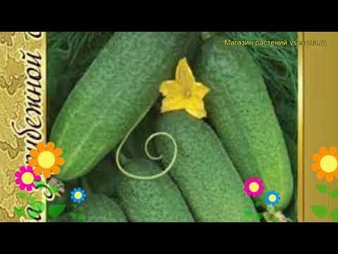Огурец гибридный Отело f1. Краткий обзор, описание характеристик, где купить семена Otelo f1