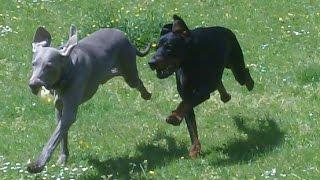 Kamakazee Doberman Dexter & Weimaraner Sebastian At A & B Dogs Boarding & Training Kennels.