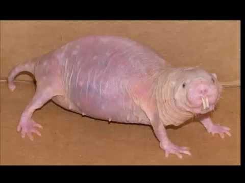 Fact mole naked rat