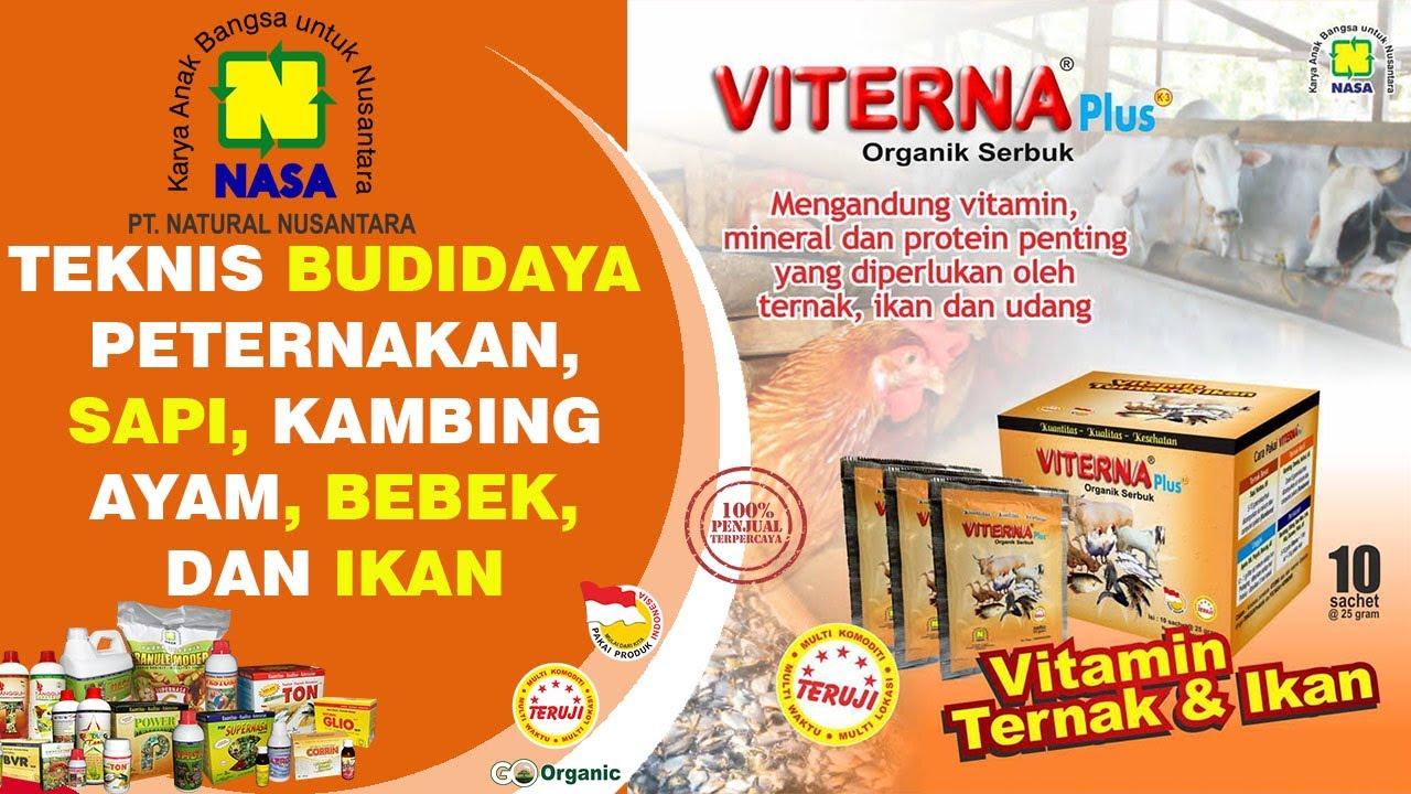 INFO NASA Cara Budidaya Ayam Jawa Super, Hasil Luar ...