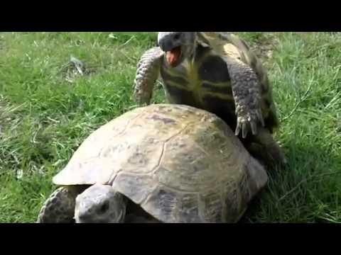 Как сношаются черепахи видео