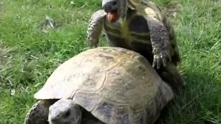 Спариваются черепахи