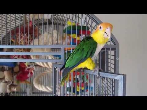 Training my parrot to fly! (White Bellied Caique)
