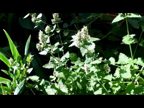 Wild weed mint for honeybees.