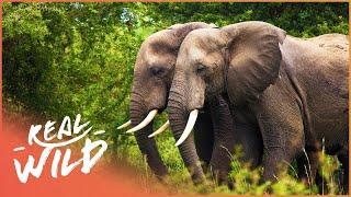 The Flight Of Elephants! | Real Wild Documentary