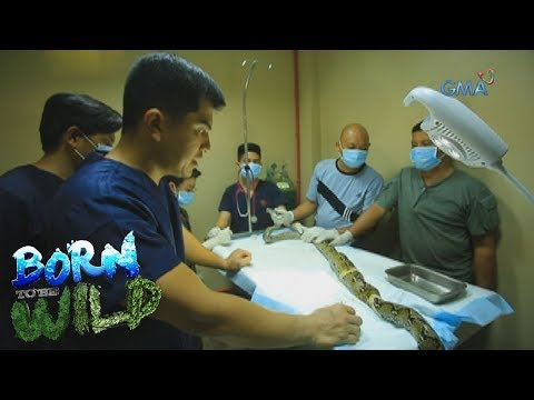 Born to Be Wild: How will the team remove a bullet inside a snake's body?