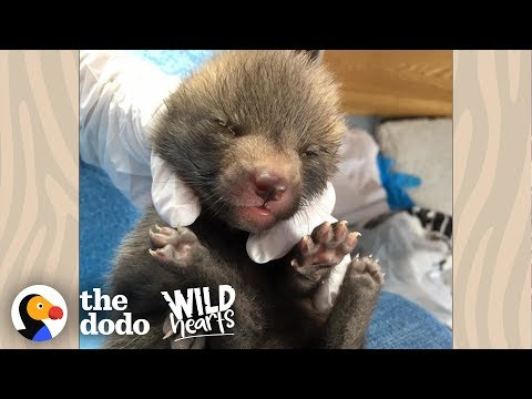 Cutest Little Baby Fox Grows Up And Goes Back To The Wild | The Dodo Wild Hearts