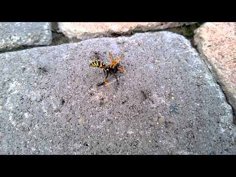 5 ants VS 1 wasp