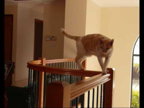 Figgaro And Spike Devon Rex Cat Tricks