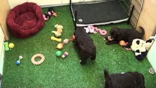 Little Rascals Uk Breeders New Litter Of Chocolate Cockapoos - Puppies For Sale 2015