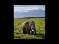 East-African Elephants   Mount Kilimanjaro, Tanzania    Elephant Documentary   National Geographic