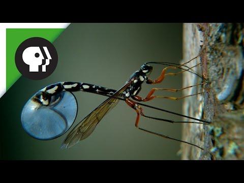 Wasp Deposits Parasitic Larvae Deep Inside Tree Trunk