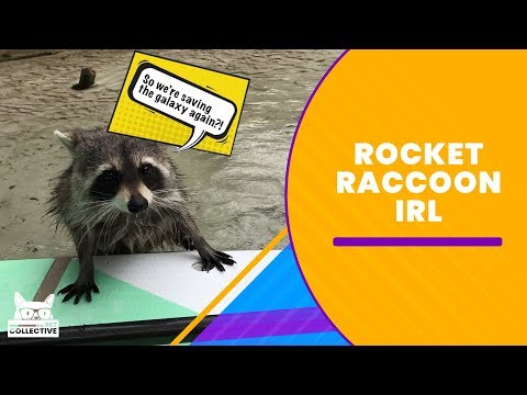 Rocket Raccoon IRL