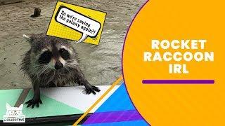 Rocket Raccoon IRL