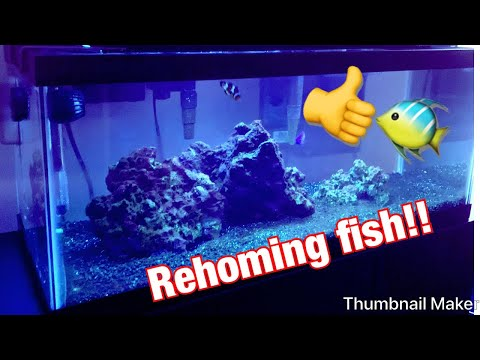 How To Remove Damsel Fish From Aquarium And Keeping Clownfish!