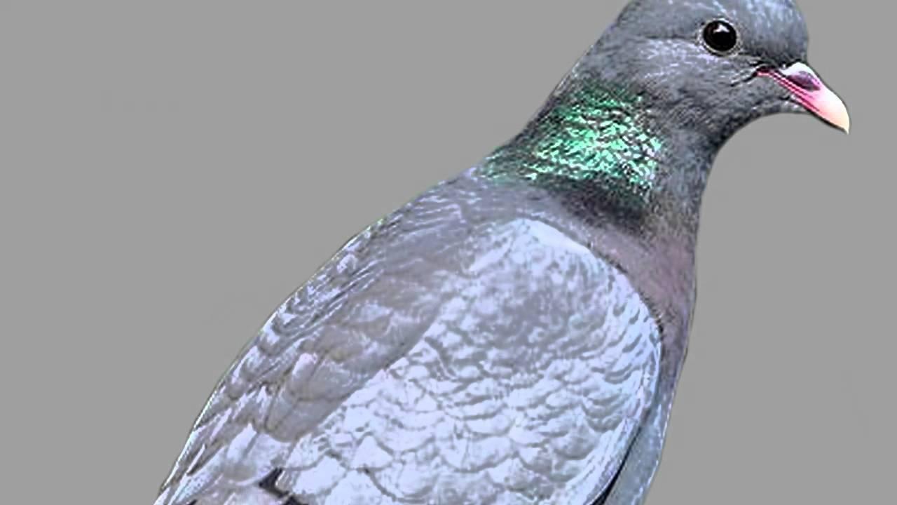 Звуки природы! Клинтух. Красивое пение птиц - Голоса птиц