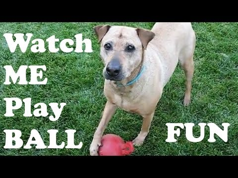 Rhodesian Ridgeback Shar Pei Mixed Breed Dog Playing Ball In The Lawn by Jazevox