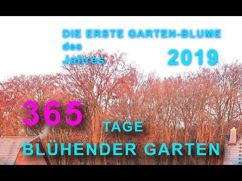 Die erste Garten-Blume des Jahres 2019  | 365 Tage blühender Garten