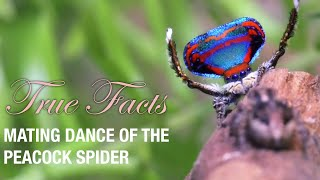 True Facts: Mating Dance of The Peacock Spider (feat. Quinta Brunson)