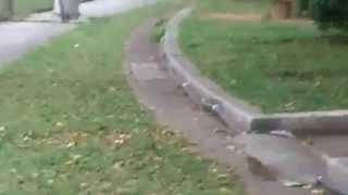 公園で偶然見かけたマングースです。最後は側溝に隠れてしまいます。