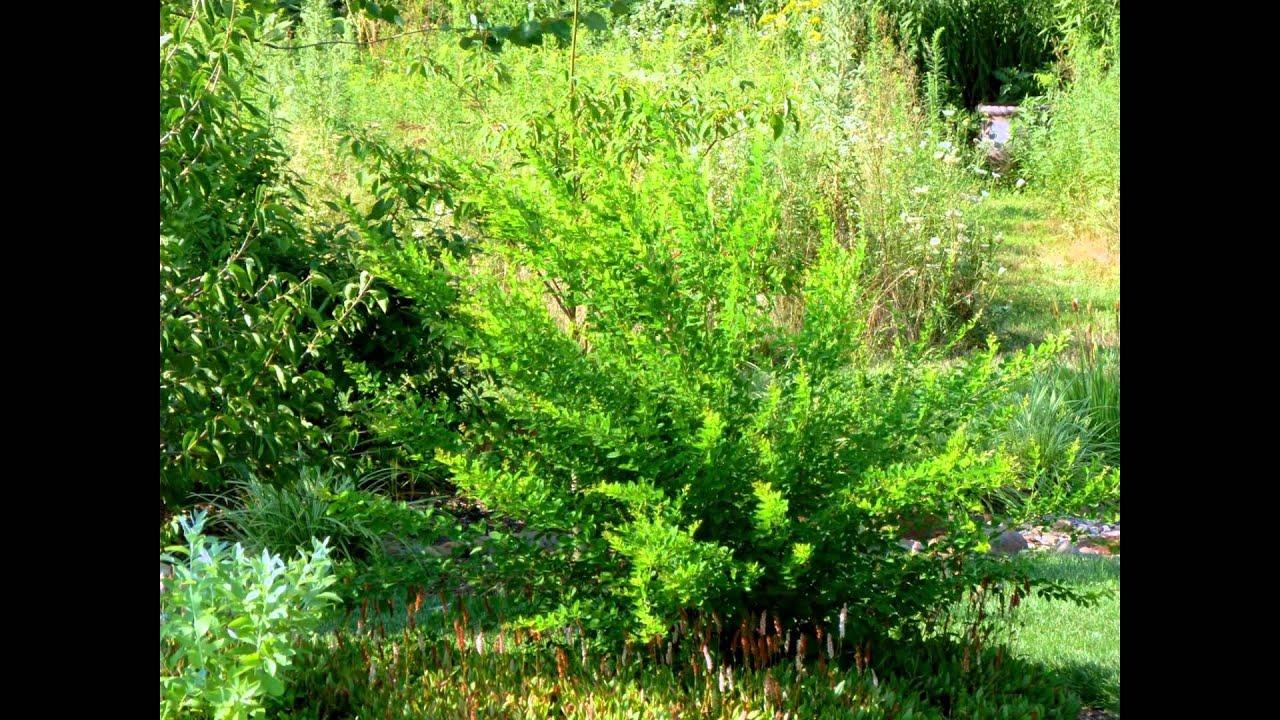 Семена леспедецы (леспедеза) в каталоге интернет магазина тётин сад. Купить по цене производителя. Фото, отзывы садоводов, рекомендации по выращиванию и уходу. Высокая всхожесть. Гарантия.