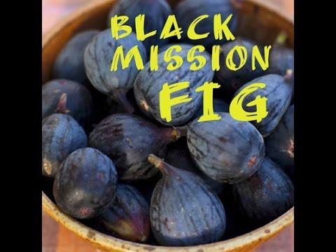 Black Mission Fig Picking and Tasting