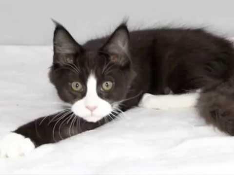 Maine coon kittens (black and white color) Котята мейн кун черно белого окраса