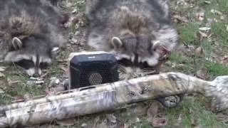 Video Daytime Raccoon Calling: Hunting Coons in abandoned Houses! Part 1 download MP3, 3GP, MP4, WEBM, AVI, FLV Juni 2018