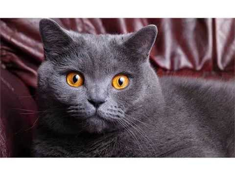 British Shorthair cats traditional british domestic cat picture collections
