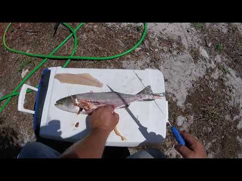 Cleaning speckled trout and frying the fish roe would your favorite fish batter