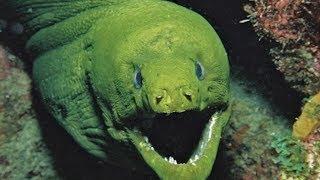Зеленая мурена