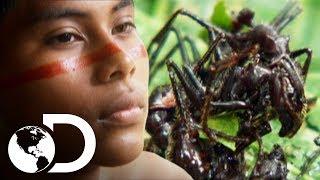 Hombres de tribu son picados por hormigas bala | Latinoamérica salvaje | Discovery Latinoamérica