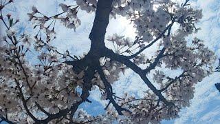 벚꽃구경 같이해요. 나들이 실시간