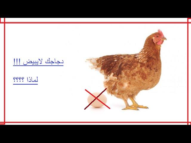 دجاجك لا يبيض لماذا وإليك تجربتي وماذا فعلت Youtube