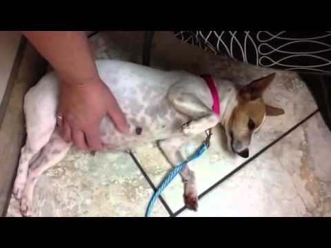ADOPTED Karmi Very Pregnant RESCUED JRTRat Terrier YouTube