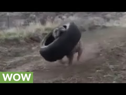 Super strong pit bull carries tire with ease