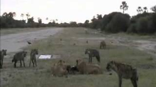 lions vs hyenas eternal enemies as seen on nat geo wild s caught in the act