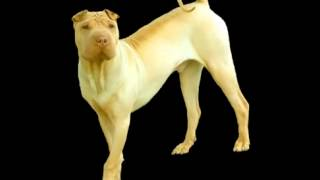 Shar Pei Facts   Facts About Shar Peis